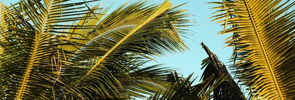 palm trees in Jamaica