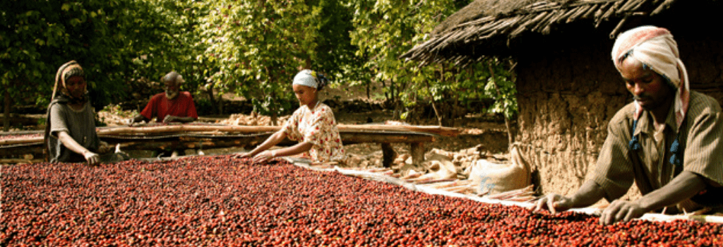 coffee farmers drying out coffee cherries in ethiopia