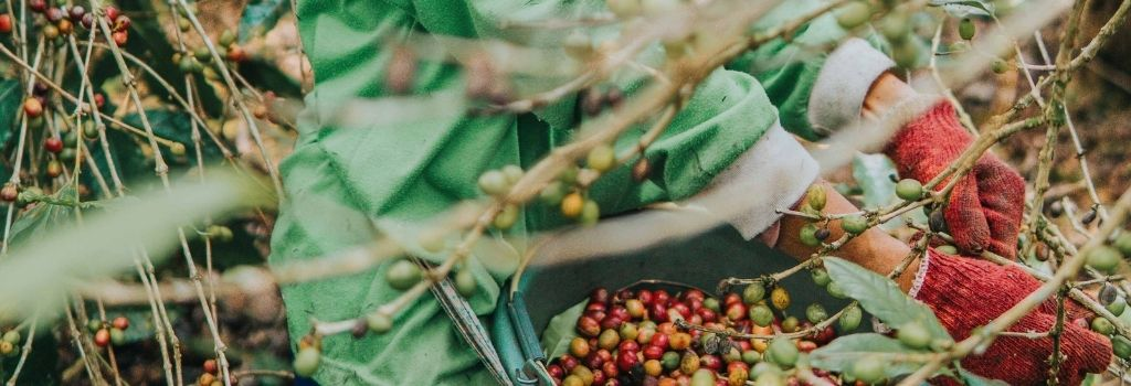 coffee picker, coffee bean picking, specialty coffee
